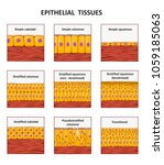 different types of epithelial... | Shutterstock .eps vector #1059185063