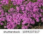 Small photo of Low-growing perennials, Phlox