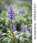 Small photo of purple lavender flower bouquet on tree in field. it is fresh and already to herb