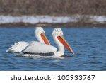 dalmatian pelican in winter ... | Shutterstock . vector #105933767
