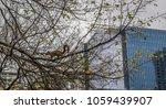 An Eastern Fox Squirrel Sits...