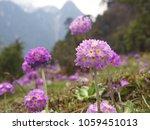 close up on verbena flowers.... | Shutterstock . vector #1059451013