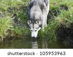 Husky Dog Drinking Water Of Th...