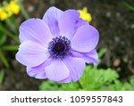 closeup of purple anemone flower | Shutterstock . vector #1059557843