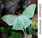 Luna Moth Resting On Forest...