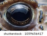close up toad eye. toad is a... | Shutterstock . vector #1059656417