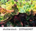 Croton  Variegated Laurel ...