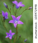 A bellflower - stock photo