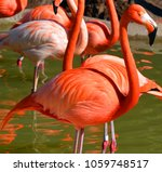 flamingos or flamingoes are a...   Shutterstock . vector #1059748517