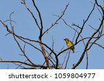Small photo of Beautiful coppersmith barbe bird in nature tropic habitat yellow, green and red color perched on branch tree in a nature wild. resident bird in Thailand.