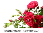 Flowers Of Climbing Rose On A...