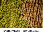 Small photo of Lichen and moss on trunk of Big Leaf Maple ( Acer macrophyllum ) in the Seattle Arboretum, Washington