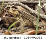 common toad  bufo bufo  | Shutterstock . vector #1059993083