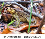 common toad  bufo bufo  | Shutterstock . vector #1059993107