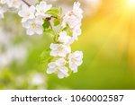 blooming apple tree in spring... | Shutterstock . vector #1060002587