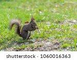Eastern Gray Squirrel Sitting...