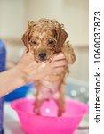 wet brown puppy dog taking... | Shutterstock . vector #1060037873
