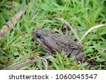 cane toad in natural habitat | Shutterstock . vector #1060045547