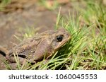 cane toad in natural habitat | Shutterstock . vector #1060045553