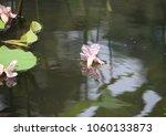 fallen blossom on the pond | Shutterstock . vector #1060133873