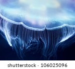 Aurelia jelly fish (Cnidaria, Scyphozoa),  up close. - stock photo