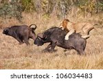 Male Lion Attack Huge Buffalo...