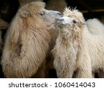A Pair Of Camels Preening Each...