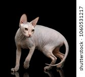playful sphynx cat looking back ... | Shutterstock . vector #1060531217