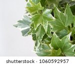 hedera leaves in closeup   ivy... | Shutterstock . vector #1060592957