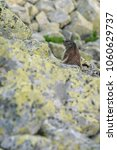 Small photo of European marmot in Retezat mountains very close to a lake