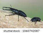 giraffe stag beetle  ...   Shutterstock . vector #1060742087