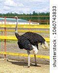 somali ostrich walks on a farm... | Shutterstock . vector #1060743833
