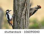 Two young woodpecker climbing on the wood - stock photo