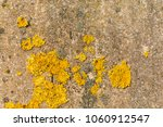 Yellow Lichen Grows On A Gray...