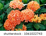 blooming spike   there are many ... | Shutterstock . vector #1061022743