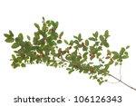 branch honeysuckle with red... | Shutterstock . vector #106126343