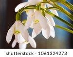 spring snowdrop flowers on blue ... | Shutterstock . vector #1061324273