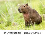 capybara  hydrochaeris...   Shutterstock . vector #1061392487
