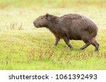 capybara  hydrochaeris...   Shutterstock . vector #1061392493