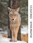Coyote  Canis Latrans  Walks I...