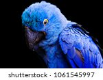 blue and yellow  endangered... | Shutterstock . vector #1061545997