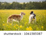 Stock photo image of two lovely dogs breed russian borzoi are in the buttercup meadow a couple of two russian 1061585387