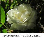 White Bush Rose  Shadowed W ...