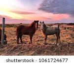 Pair Of Icelandic Ponies ...