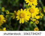 first spring flowers yellow in... | Shutterstock . vector #1061734247