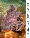 Small photo of Weedy scorpionfish on the reef