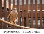 Small photo of A rescued Cooper's Hawk perched on a branch.