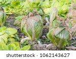 cabbage in the vegetable garden | Shutterstock . vector #1062143627