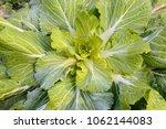 cabbage in the vegetable garden | Shutterstock . vector #1062144083