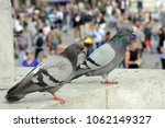 Small photo of pigeons throng the cities